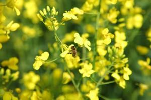 Blüte Biene